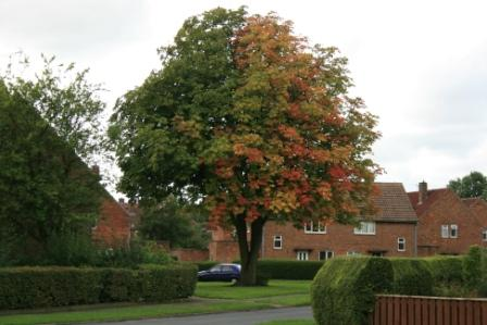 Tree in autumn splendour but look at the colour split!