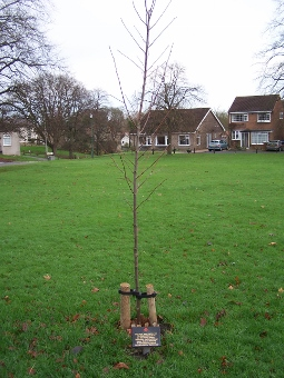 WW1 tree planted by Harry Moses